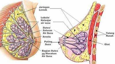 anatomy payudara